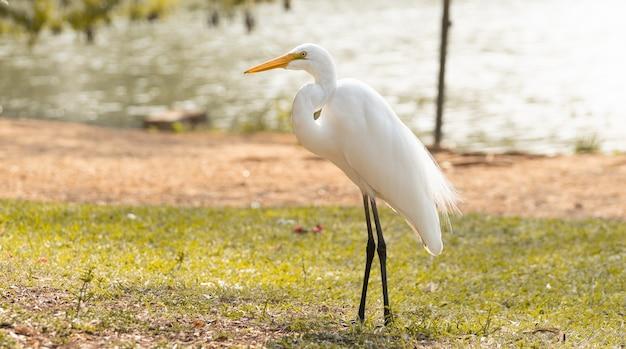 Weißer reiher im brasilianischen park