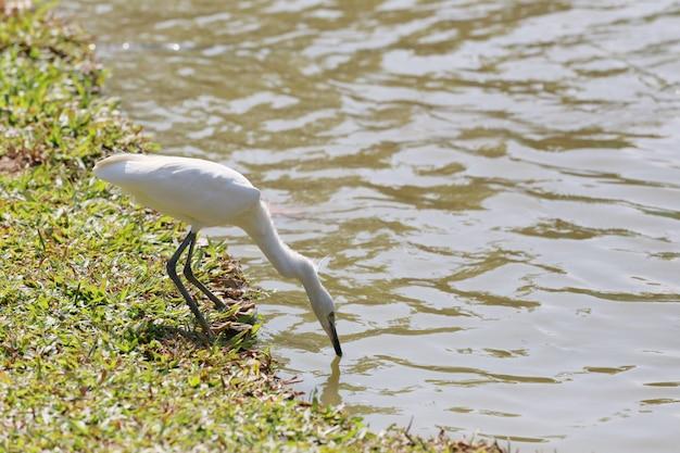 Weißer reiher oder pelikan vogel start.