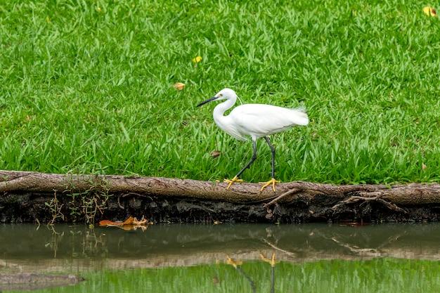 Weißer reihervogel, der im park geht