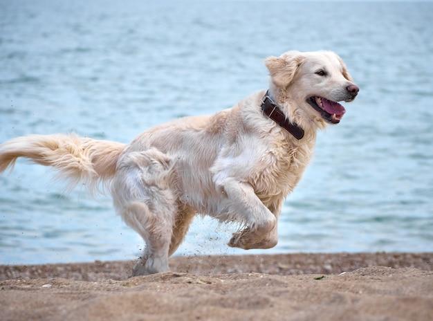Weißer retrieverhund am strand