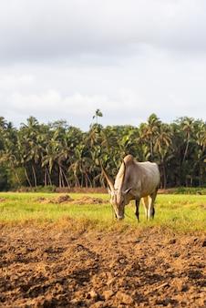 Weißer rinderochse, der auf einem landwirtschaftlichen feld in goa, indien weiden lässt?