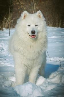Weißer samojede hund auf schnee im wintertag. nördliche schlittenhunderassen.