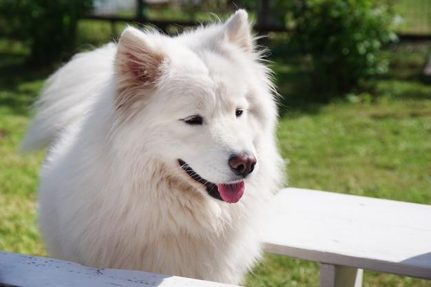 Weißer samojede hund im garten auf dem grünen gras reinrassiger hund