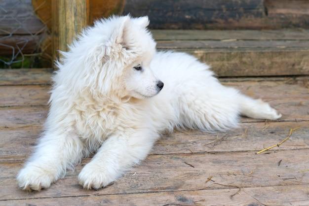 Weißer samojeden-husky-welpe. freundliche hunde mit flauschigem fell.