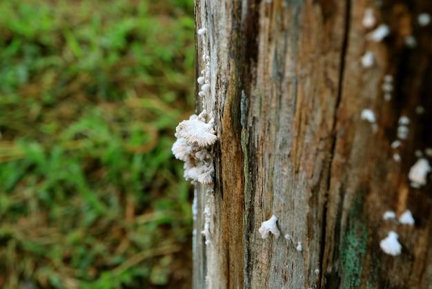 Weißer schizophyllum-gemeindepilz oder split-gill-pilze, die auf baumstamm wachsen