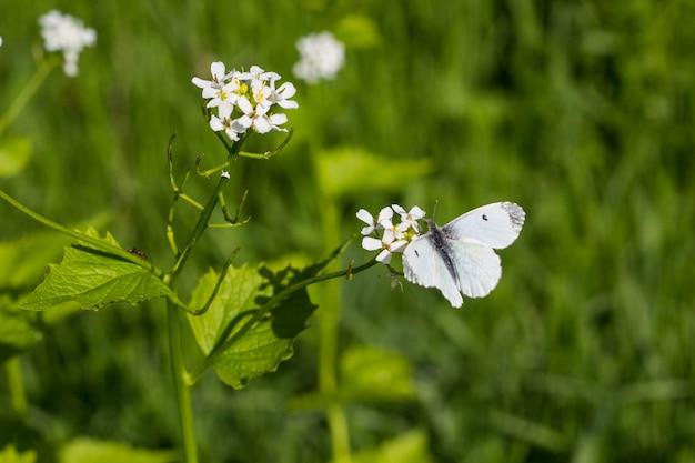 Weißer schmetterling auf einer kleinen weißen blume