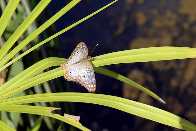 Weißer schmetterling mit braunen und orangefarbenen flecken
