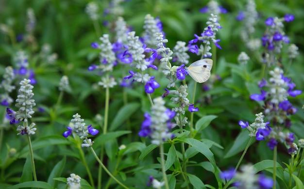 Weißer schmetterling sammelt pollen auf knospen lila stiefmütterchen (viola, veilchen, herzsease)