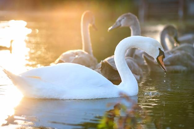 Weißer schöner schwan, der im sommer auf seewasser schwimmt.