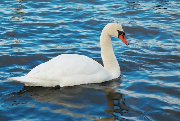 Weißer schwan auf blauem wasser