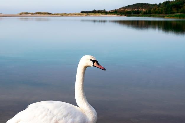 Weißer schwan auf dem hintergrund eines blauen ruhigen sees, seitenansicht