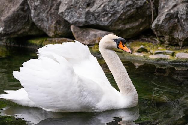 Weißer schwan auf dem teich vor dem hintergrund der felsen