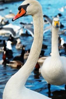 Weißer schwan auf dem wasser