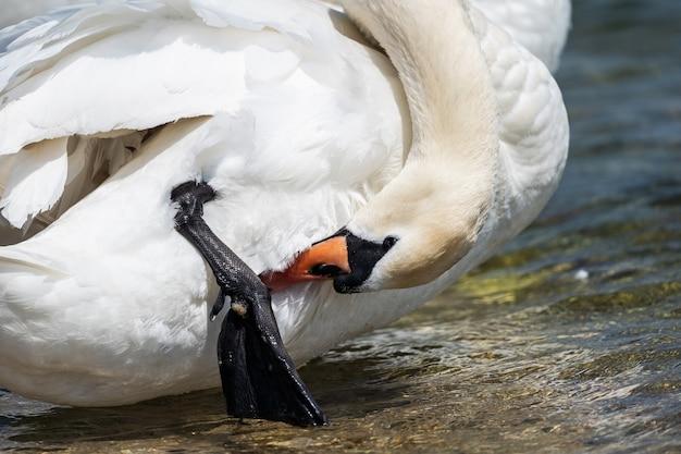 Weißer schwan auf der seenahaufnahme. ein anmutiger weißer schwan reinigt seine federn und pfoten mit seinem schnabel.