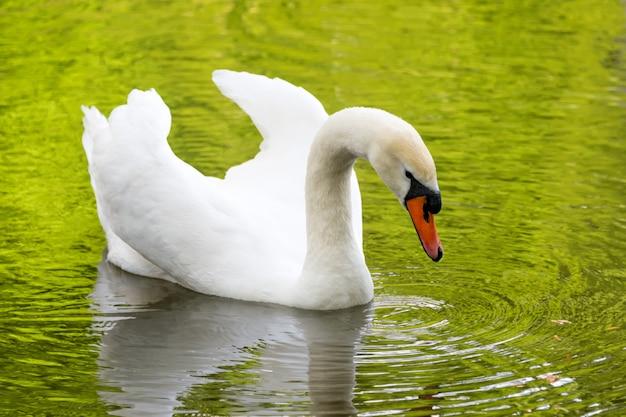 Weißer schwan auf grünem seewasser, der das laub an sonnigem tag reflektiert, schwäne auf teich
