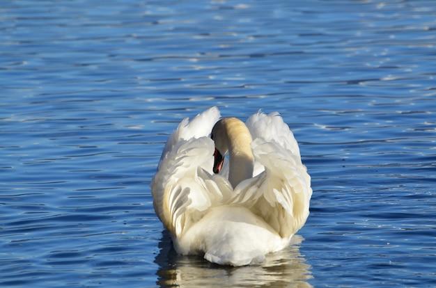Weißer schwan, der auf einem see mit einer schönen ruheform schwimmt