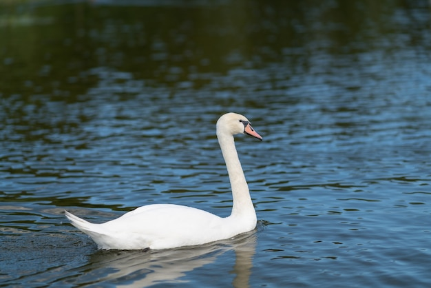 Weißer schwan, der auf wasser mit sonnenlichtreflexionen in einer profilansicht schwimmt