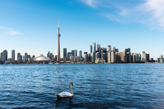 Weißer schwan, der im ontariosee mit torontos skyline im hintergrund schwimmt