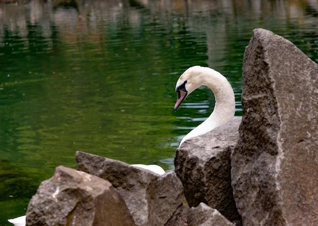 Weißer schwan, der in einem klaren teich schwimmt