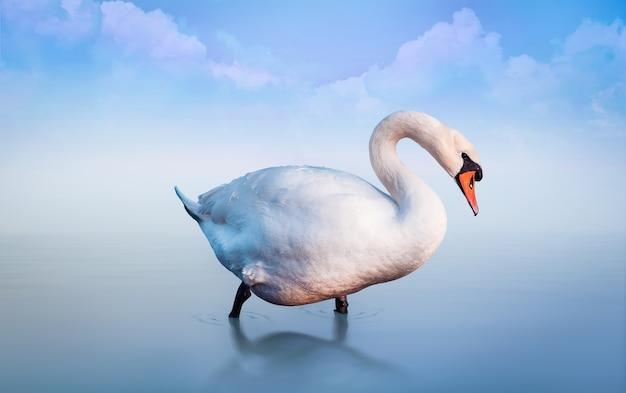 Weißer schwan im see am morgennebel. blauer romantischer hintergrund mit wolken.