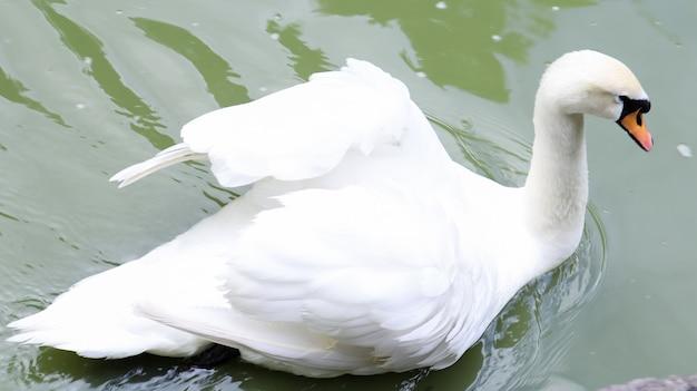 Weißer schwan ist ein vogel aus der gattung der schwäne der entenfamilie, der im sommer an einem see oder teich weißes gefieder hat.