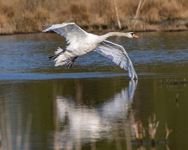 Weißer schwan landet auf dem wasser
