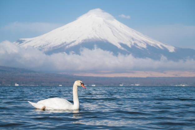 Weißer schwan mit ansicht mt fuji bei yamanakako see, yamanashi, japan.