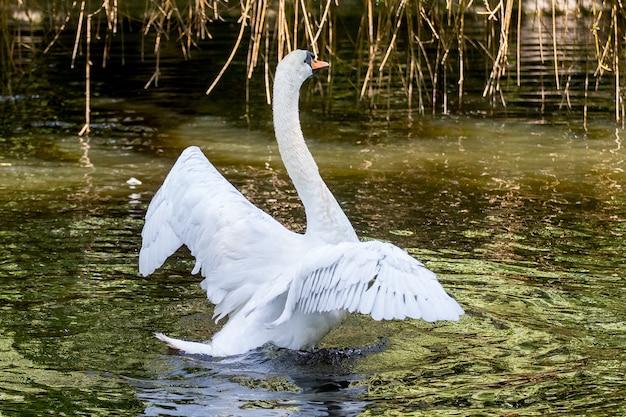 Weißer schwan mit erhobenen flügeln am fluss