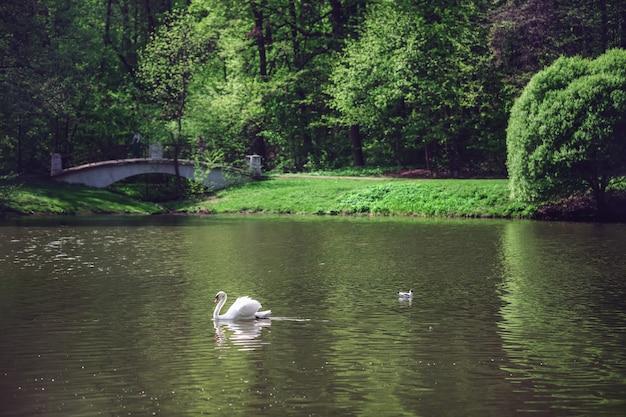 Weißer schwan schwimmt auf dem fluss. heller sonniger tag. grüne bäume, büsche und gras