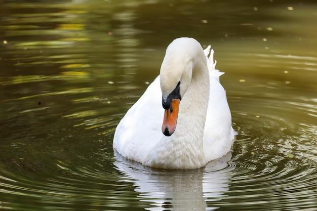 Weißer schwan schwimmt auf dem fluss