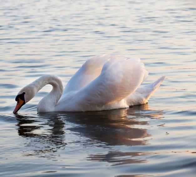 Weißer schwan schwimmt auf dem see, schöne wasservogelschwäne im frühling, schöne vögel von großer größe