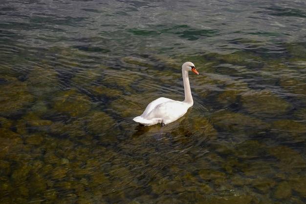 Weißer schwan schwimmt im fluss