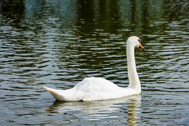 Weißer schwan schwimmt in einem teich in klarem wasser zwischen lotusblumen.