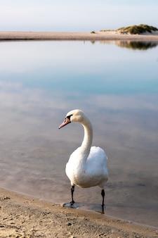 Weißer schwan steht im wasser im sand