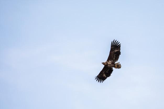 Weißer schwanzadler, der im himmel in den lofoten, norwegen fliegt, kopiert raum
