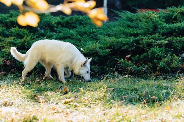 Weißer schweizer schäfer hat spaß im sonnigen park des herbstes