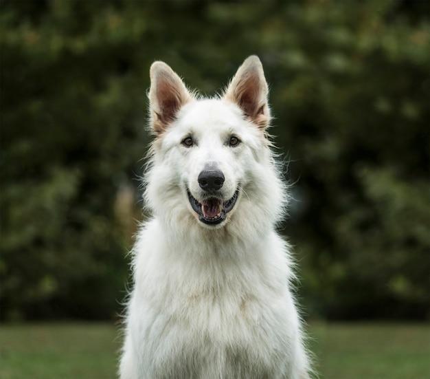 Weißer schweizer schäferhund, 3 jahre alt, im park