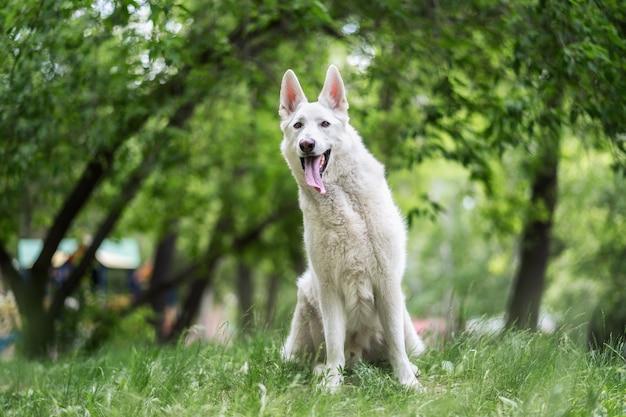 Weißer schweizer schäferhund sitzt auf der wiese
