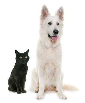 Weißer schweizer schäferhund und schwarze katze
