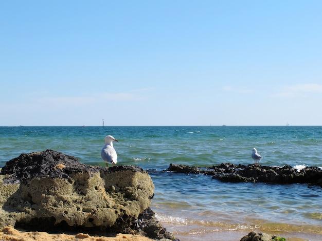 Weißer seemöwenstand am sandringham strand