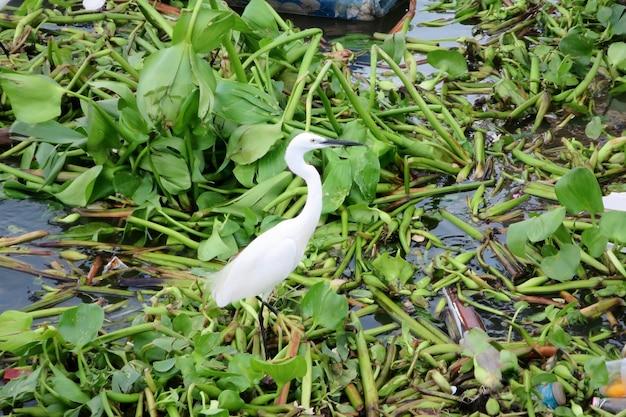 Weißer storch, der auf den flusshyazinthen mit etwas abfall steht. tier- und umweltkonzept.