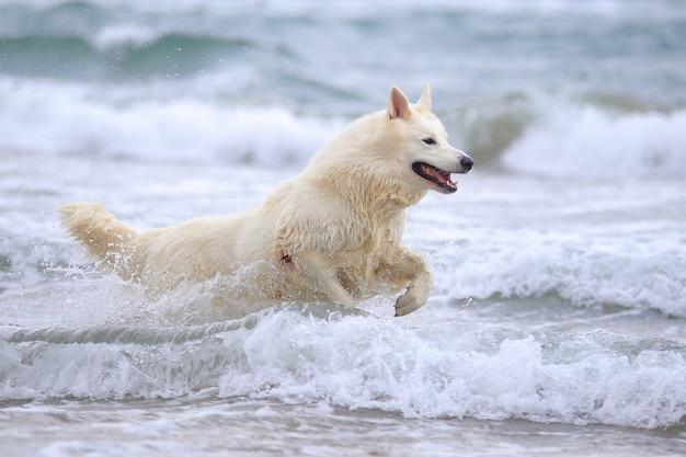 Weißer swish hirte am strand