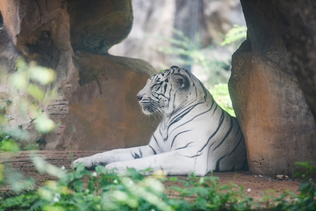 Weißer tiger, der auf dem boden im bauernhofzoo im nationalpark liegt