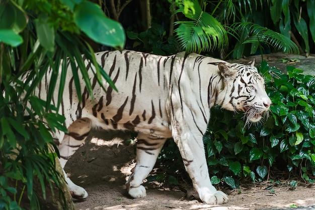 Weißer tiger konzentriert sich ernsthaft auf etwas.