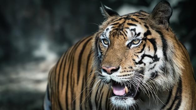 Weißer tiger sucht nahrung im wald. (panthera tigris corbetti) im natürlichen lebensraum, wildes gefährliches tier im natürlichen lebensraum, in thailand.