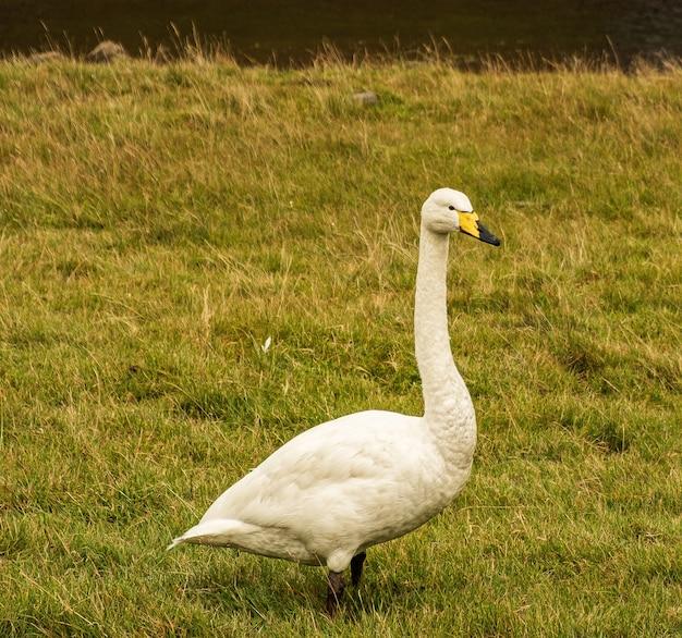 Weißer tundra-schwan, der in einem grünen grasfeld geht