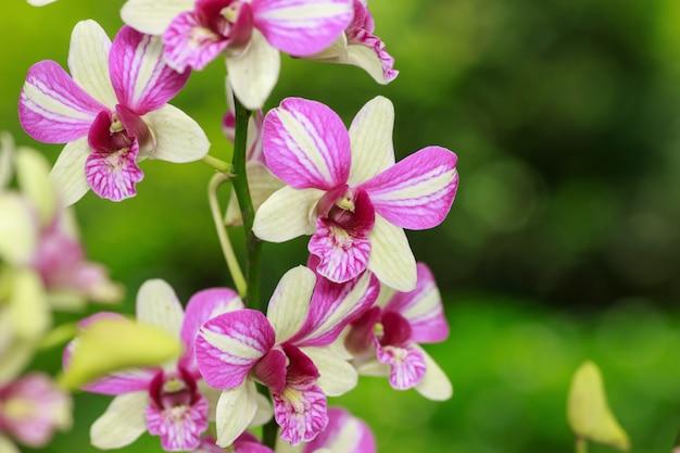 Weißer und rosa orchideenblumenabschluß oben.