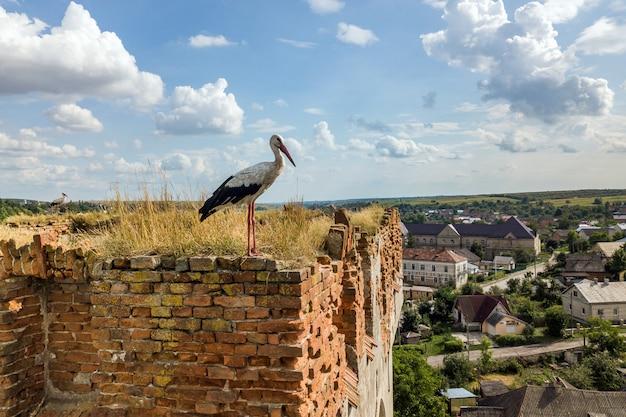 Weißer und schwarzer storchvogel, der auf einem alten zerstörten gebäude im sommer steht.