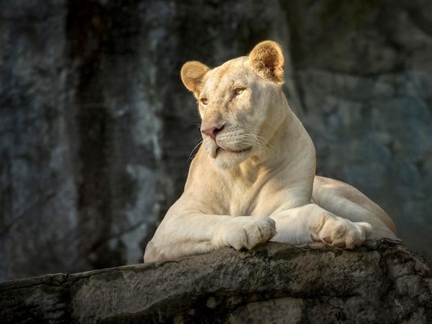 Weißer weiblicher löwe in der natürlichen atmosphäre des zoos.