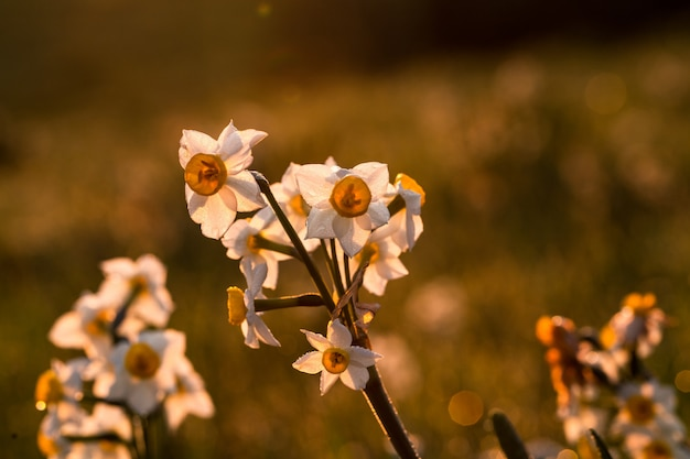 Weißer weißdorn, oneseed weißdorn, crataegus monogyna,